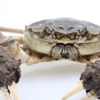 万年红大闸蟹公蟹5.5-6.2两母蟹3.9-4.2两5对礼券