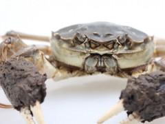 万年红大闸蟹公蟹5.5-6.2两母蟹3.9-4.2两5对礼盒